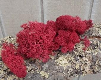 Reindeer Lichen-Rose