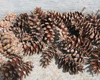 natural pinecones lot of 25 white pine woodlands wedding rustic wedding floral craft supplies