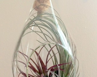 """Air Plant Terrarium Hanging Teardrop with Rustic Rope includes all plants choose moss or sand 10-12"""""""