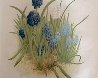 RARE Antique Botanical 1880s Print  Lithograph Flower Floral HYACINTH 1884 Horticulture Gardening Home Decor Floristry Severeyns Goffart