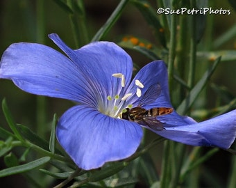 Wild Blue Flax, Hoverfly, Photo Greeting Card or wall art, Romantic Decor, Shabby Chic, Cottage Chic, Blue, Nature Photos, Flower Prints