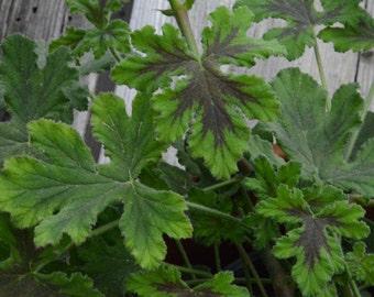 Chocolate Peppermint Scented Geranium, Live Plant,  Scented Pelargonium in 4 Inch Pot