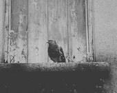 Irish Pigeon Fine Art Pho...