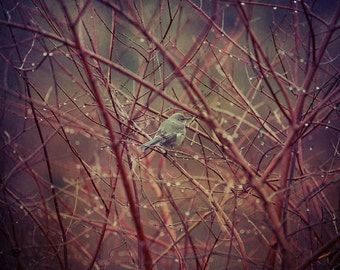 Bird in Red Twigs with Dew Drops Wall Art Photograph Nature print