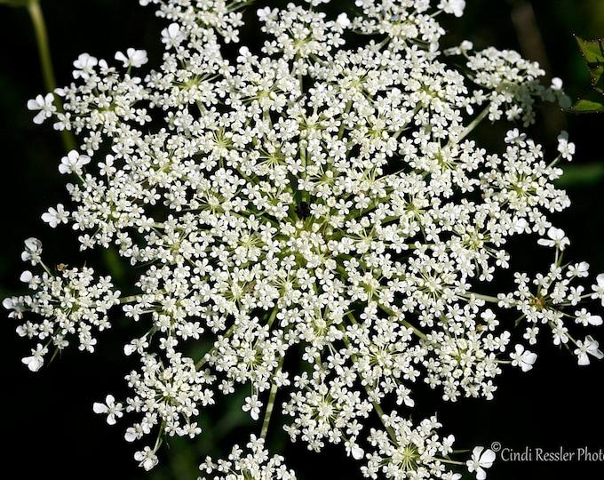 Queen Anne's Lace, Fine Art Photography, Flower Photography, Botanical, Garden, Nature Photography