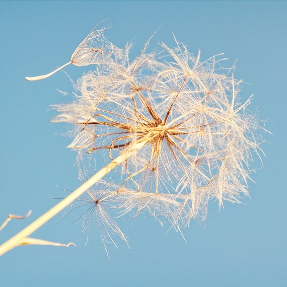 Dandelion Photograph, Nature Photography, Pastel Blue, Turquoise, Fine Art Print, Flower Photo