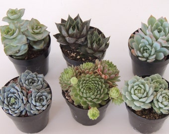 Collection of ten 4-inch PINK ECHEVERIA  plants