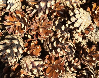 Pine Cones Natural Organic Decoration Table Scatter Supply Party Wedding (25)