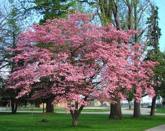 1000 Flowering Dogwood Tree Seeds, Cornus Florida, Rubra