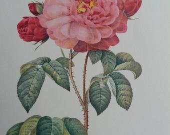 Vintage Pink Rose Botanical Print by Pierre Joseph Redoute
