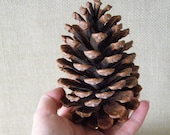 3 Lg Texas Pine Cones, sorted for quality & uniformity. Weddings, wreaths, garlands, ornaments, bowl fillers, potpourri, fire starters