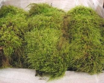 Live Moss, Fresh Tree Moss, Beautiful Green Fresh Tree.