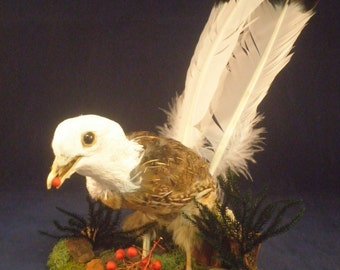 One of a kind, taxidermy morphed quail bird!