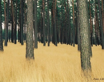 Landscape Photo, Fine Art Photography of Pine Forest in Germany, Download,