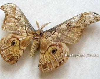 Real Moth Saturnia Rinaca Thibeta From Tibet In Shadowbox