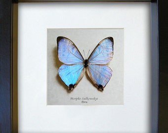 Pearl Morpho Sulkowski Real Butterfly In Museum Quality Shadowbox