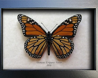 Monarch Danaus Erippus Real Butterfly In Museum Quality Shadowbox