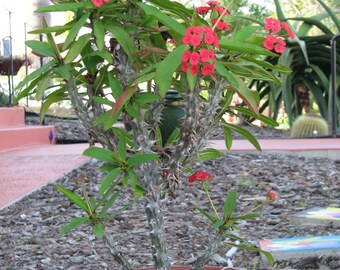 Euphorbia Milli Crown of thorns large Succulent Plant