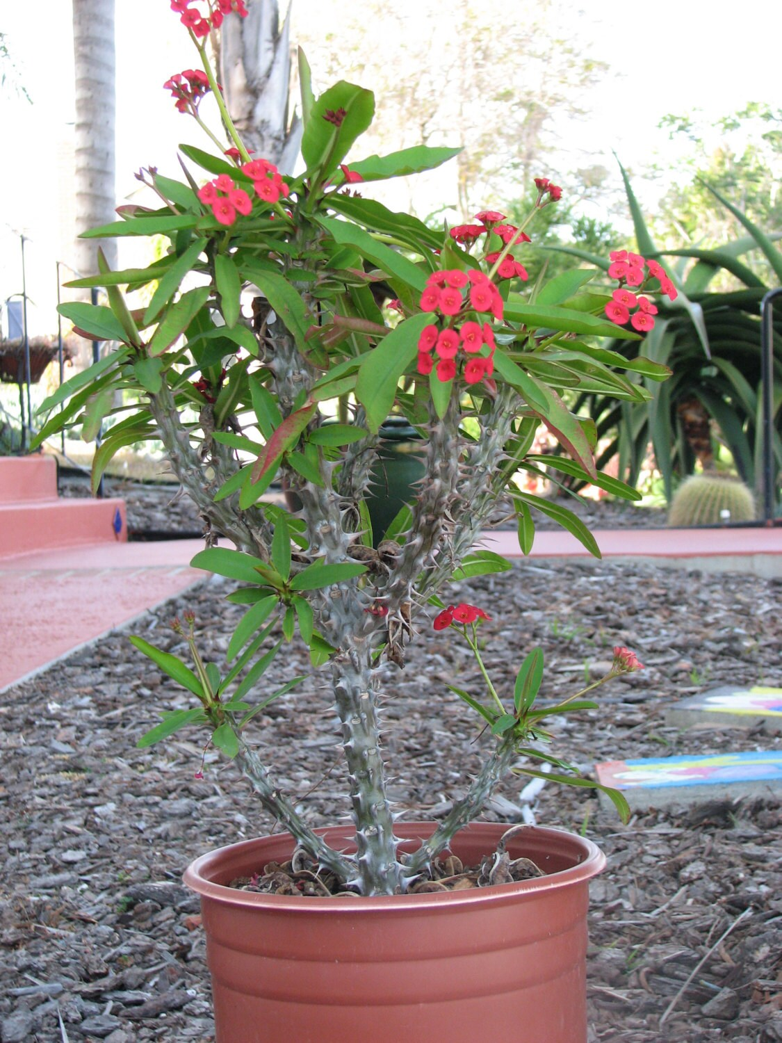 Euphorbia milli crown of thorns large succulent plant for Crown of thorns plant