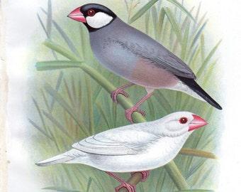 1899 Antique Bird Print Java Sparrow Lithograph Nature Frohawk Wall Decor Vintage Bird Print