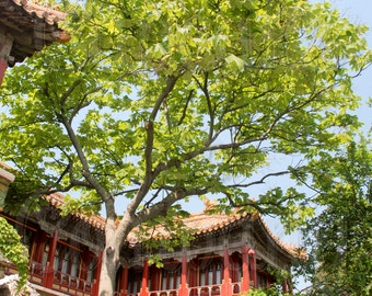 The Garden in the Forbidden City - Beijing, China -- Choose your Size