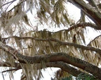 Live Oak Tree with Spanish Moss in Florida // Tree Photograph Print