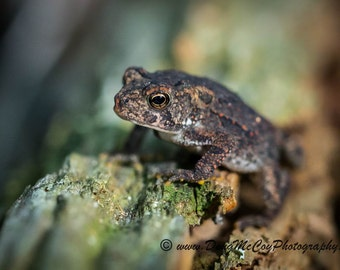 American Toad #1760