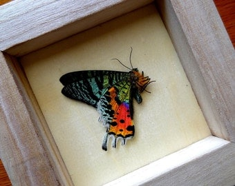 Real Urania Ripheus (Sunset Moth) From Madagascar Framed - Taxidermy - Home Decoration - Collectibles