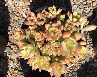 Mature Succulent Plant Golden Glow Stonecrop Plant  Vibrant Yellow Gold Rosettes  Perfect for drought tolerant landscape garden