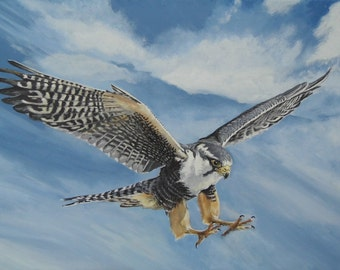 Aplomado Falcon - Limited Edition Mounted A3 print of beautiful Aplomado Falcon