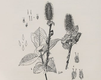 Dwarf Willow Tree - Large Antique Botanical Print in Monochrome or Black and White