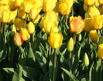 Yellow Tulips, Nature Photography, Sunny Field of Flowers, Yellow and Green, Veldheer Gardens, Home Decor, Happy, Uplifting Photo, Spring