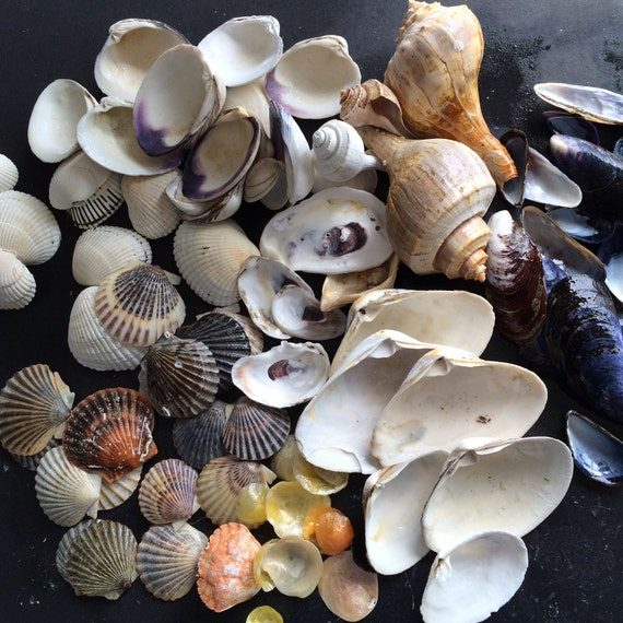 90 Bulk Shells Assorted Shell Collection For Sale Diy