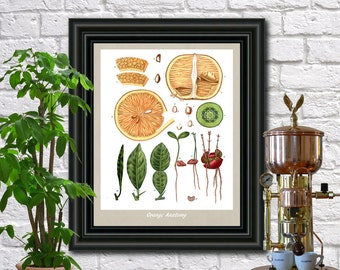 Orange Illustration Botanical Print Vintage Plant illustration Kitchen Art Pierre Poiteau wall art.  0391