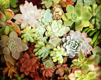 75 Succulent Cuttings Variety Mixture Growers Choice