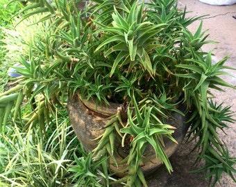Aloe Cutting - Aloe ciliaris - Climbing Aloe - Succulent - Evergreen - Foliage - Outdoor Garden - Home Living - Xeriscaping - Plant Cutting