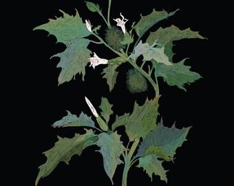 PLANTAE: DATURA INOXIA (unframed/sin marco)