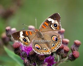 Buckeye Butterfly,  Photo, print, butterflies, insect, best, wall art, home decor