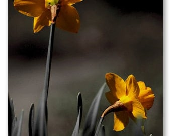 Daffodil Delight - Fine Art Photography, Archival Photo Print, 5x7, 8x10, A6 Stationery