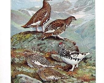Bird Print - Rock Ptarmigan, White Tailed Ptarmigan - 1932 Book Page from Vintage Bird Book -10 x 7