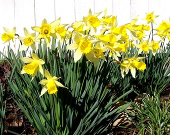 Daffodil Bulbs, Very Hardy Spring Perennial Flower, 12 Bulbs For Larger Orders Convo Me