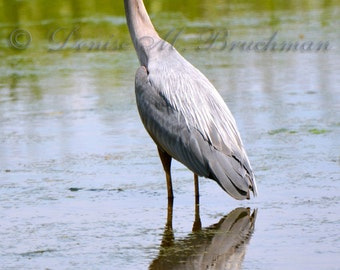 Great Blue Heron and Reflection - Bird Photography - Blue Heron Decor - Blue Heron Fine Art Photos