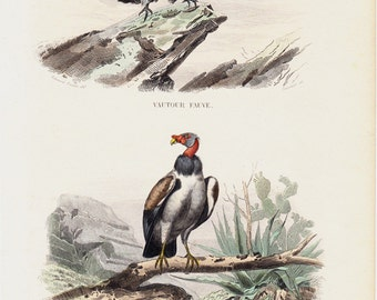 1848 Antique PREY BIRD print. Buzzard and king vulture,  Fine hand colored engraving. Original antique