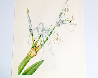 Vintage Botanical Bookplate / Spider Lily / Star Grass
