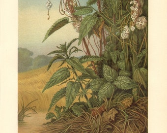 1913 Parasitic Plants, Cuscuta, Dodder, Devil's Guts, Goldthread or Hellbind Antique Chromolithograph