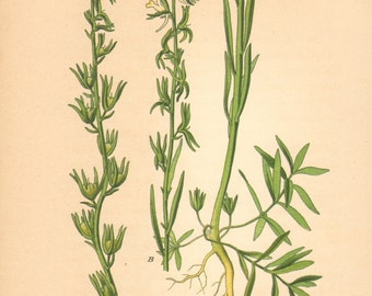 1884 Mediterranean Toadflax, Linaria chalepensis Antique Lithograph