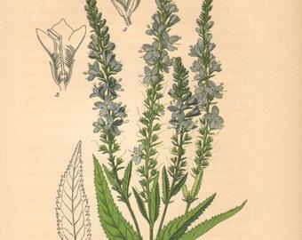 1884 Garden Speedwell, Veronica longifolia Antique Lithograph