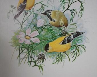 Vintage Wildlife Bird Print of three Goldfinch by American Artist Bob Hines