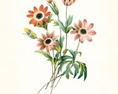 Redoute Series No.1 Anemone Stellata - Botanical Print - Giclee Canvas Art Print - Antique Botanical - Wall Art -Poster - Print - Home Decor