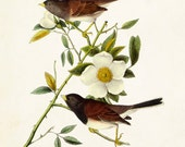Vintage Audubon Dark Eyed Junco - Giclee Canvas Print - Print Poster Bird Print - Natural History Art Print Wall Hanging - Home Decor